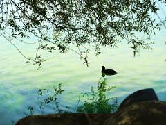 GFX1676 - Duck (Diego Rosato) Tags: duck anatra oca canard papera lake lago natura nature water acqua fuji gfx50r fujinon gf110mm rawtherapee posta fibreno