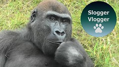 Gorilla Lope Moments (SloggerVlogger) Tags: gorilla lope moments