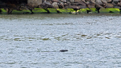 Halichoerus grypus - one of the five grey seals I saw in Stockholm today (Franz Airiman) Tags: halichoerusgrypus säl seal sälis sälx grayseal greyseal animal djur stockholm sweden scandinavia wild vild vattendjur mammal watermammal däggdjur vattendäggdjur gråsäl nackastrand
