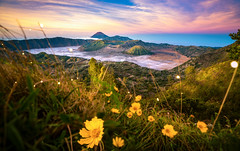 Yellow flower with Bromo mountain background in Argowulan view point (anekphoto) Tags: point view argowulan kingkong sunrise morning holiday park outdoor volcano mountain travel forest yellow day natural eastjava sun summer tourist bloom grass land hill sunset valley blossom east plant flower nature landscape background blue indonesia green sky season beautiful scenery environment tourism tree bromo dawn field edelweiss java semeru lava