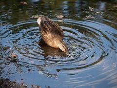 Anas platyrhynchos (peter_paul52) Tags: buschmühle oberau vögel deutschland aves sachsen anatidae niederau