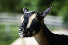 A goat (Dad from Hell) Tags: 2019 canada canadarocks dadfromhell gary garypaakkonen paakkonen photography powellspatchblueberries summer bokeh d300s farm goat nature nikon ontario wildlife simcoe iamcanadian
