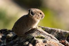 Pika (Jasper's Human) Tags: pika mammal rodent
