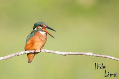 Alcedo atthis (LdrGilberto) Tags: guarda rios kingfisher alcedo atthis hidedolima bird ave nature natureza wild free birdwatching