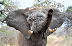 Every Elephant has thier Day! (pstone646) Tags: elephant wildlife nature animal closeup pachiderm africa fauna tusks trunk dust threatening southafrica safari