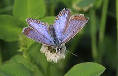 Biggekerke (Omroep Zeeland) Tags: icarusblauwtje vlinder natuur