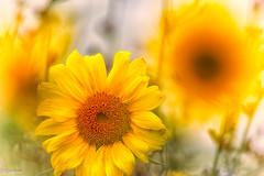 12082019-DSC_0069 (vidjanma) Tags: 1fleur bokeh fleurs jaune tournesol