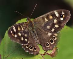 Biggekerke (Omroep Zeeland) Tags: bonte zandoogje vlinder natuur
