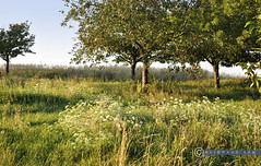 Weinviertel Niederösterreich Rückersdorf_DSC1043 (reinhard_srb) Tags: weinviertel niederösterreich rückersdorf sommerwiese gras bäume apfelbaum schafgarbe