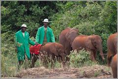 World Elephant Day 2019 (maguire33@verizon.net) Tags: africanelephant elephant orphan orphaned nairobi kenya poignant
