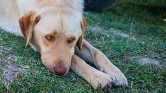 Honey Eyes (anlgngr7) Tags: canon eos 77d is usm nano lens 18135mm dog dogs labrador labradors retriever eyes eye gözler köpekler köpek göz honey color bal animals animal