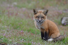 Simply Adorable! Fox Kit - 9396b+ (PhotoJenics by Jen Hall) Tags: fox kit foxkit redfox babyfox sweet adorable babyanimals jenniferhall jenhall jenhallphotography jenhallwildlifephotography wildlifephotography nature naturephotography photojenicsphotography jenonsafari summer