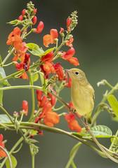 Yellow warblers (Peter Stahl Photography) Tags: yellowwarbler warbler islelake migration