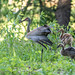 #4 Family ~ Adopted Canada Gosling, Mom Sandhill Crane Stretching, and Brother Sandhill Crane Colt ~  Papa Sandhill Crane is always nearby, keeping his family safe ~ Branta canadensis and Antigone canadensis ~ Kensington Metropark, Michigan