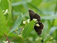 P1260206  Wild Indigo Duskywing at Indian Hemp Dogbane (birder2015 Toronto, Canada) Tags: wildindigoduskywing butterfly lepidoptera insect wildflower shrub indianhempdogbane