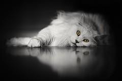 White Beauty 🐈 (benji.g) Tags: cat katze mainecoon pet haustier tiger löwe lion beautiful amazingshots white black blackandwhite blackwhite eyes augen österreich austria