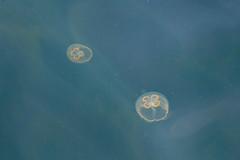 Nuuk, Greenland, Denmark, North America (Miraisabellaphotography) Tags: nuuk greenland northamerica denmark nature travel adventure travelling sea animal jellyfish