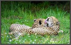 Gepard. ... .Kuschelzeit (tingel79) Tags: animal natur katze raubkatze tiere tierpark berlin nature germany outdoor gehege wiese day bigcat photograph photographie photography foto sonya6500