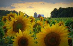 Sunflowers at sunset--Explored (yooperann) Tags: barn farm sunflowers sky clouds cornell rock upper peninsula michigan summer flowers agriculture rural delta county hall farms silo