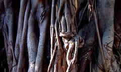 naked trees (sculptorli) Tags: naakt nature naked tree nackt root wood 树 木 棪 榔 槾 柅 裸 裸露 秃 赤 bare 根 banyan 榕树 desnuda nue nuda