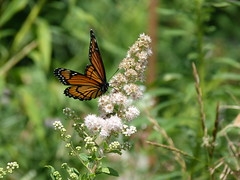 P1260133  Viceroy on Meadowsweet (birder2015 Toronto, Canada) Tags: viceroy butterfly lepoidoptera insect wildflower shrub meadowsweet