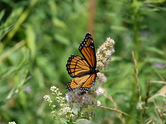 P1260137  Viceroy on Meadowsweet (birder2015 Toronto, Canada) Tags: viceroy butterfly lepidoptera insect wildflower shrub meadowsweet