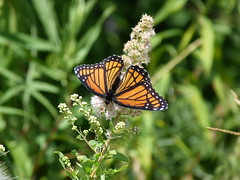P1260150  Viceroy on Meadowsweet (birder2015 Toronto, Canada) Tags: viceroy butterfly lepidoptera insect wildflower shrub meadowsweet