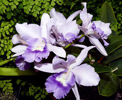 2019 orchids in the park, sfos show & sale, Cattlianthe Final Blue 'Royal Purple' hybrid orchid 7-19 (nolehace) Tags: summer nolehace sanfrancisco fz1000 719 flower bloom plant cattlianthe final blue royal purple hybrid orchid 2019 sfos orchidsinthepark goldengatepark countyfairbuilding sanfranciscoorchidsociety oitp