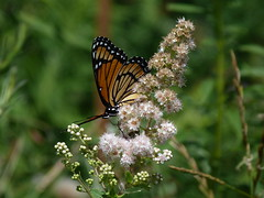 P1260131  Viceroy on Meadowsweet (birder2015 Toronto, Canada) Tags: viceroy butterfly lepidoptera insect wildflower shrub meadowsweet