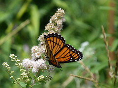 P1260144  Viceroy on Meadowsweet (birder2015 Toronto, Canada) Tags: viceroy butterfly lepidoptera insect wildflower shrub meadowsweet