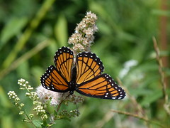 P1260145  Viceroy on Meadowsweet (birder2015 Toronto, Canada) Tags: viceroy butterfly lepidoptera insect wildflower shrub meadowsweet