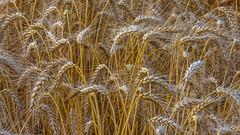 Wheat ears close up (Milen Mladenov) Tags: 2019 landscape awheatear agricultural field grain harvest macro nature plant wheat wheatear wheatfield