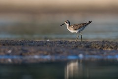 Wood Sandpiper (JS_71) Tags: nature wildlife nikon photography outdoor 500mm bird animal poland nikkor d500 wildbirds ngc