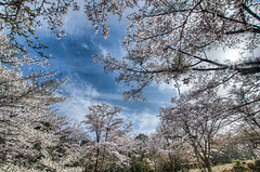 桜に包まれて (Tailslider64) Tags: japan hdr mountain backlit wideangle cherryblossoms clear blue