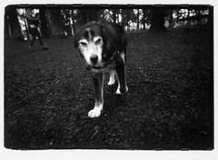 A Dog. (Robert Drozda) Tags: portland oregon park dog film blackandwhite ilfordhp5 olympusxa2 bluemooncamera notmydog drozda littledoglaughednoiret