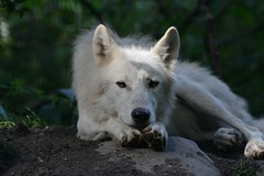 Hudson bay wolf (Co lennings2011) Tags: hudsonbaywolf canislupushudsonicus wolf artis zoo amsterdam