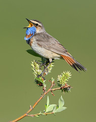 Bluethroat - Nome (www.studebakerstudio.com) Tags: bluethroat bird nome alaska singing song nikon 600mm