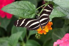 Papillon (clamar18) Tags: heliconius charithonia butterffly insecte noir blanc france vannes nature