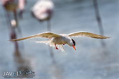 Spotting a catch ... -6257 (George Vittman) Tags: animals birds nature photography bouchesdurhône france flight marsh water camargue nikonpassion wildlifephotography jav61photography jav61