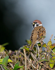 tree sparrow (madziulka_a) Tags: treesparrow nikon d800 poland wildlife mazurek photography nature bird nikkor 200500mm