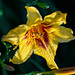 The Evening of a Day Lily