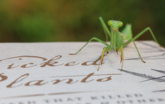 Page Turner (dianne_stankiewicz) Tags: macromondays printedword macro insect book text words pageturner mantis prayingmantis