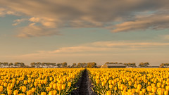 The Parting of the Sea of Flowers. (Alex-de-Haas) Tags: 1635mm d500 dutch europa europe holland nederland nederlands netherlands nikkor nikkor1635mm nikon nikond500 noordholland agriculture akkerbouw beautiful beauty bloemen bloemenvelden boerenland bollenvelden bulbfields farmland farming flowerfields flowers landbouw landscape landscapephotography landschaft landschap landschapsfotografie lente lucht mooi polder pracht schoonheid skies sky spring sundown sunset tulip tulips tulp tulpen zonsondergang warmenhuizen northholland