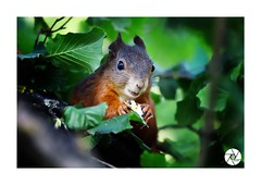 ECUREUIL_E003 (ANTOINE ARROBAS) Tags: écureuil treesquirrel esquiloflorestal ardilla