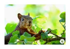 ECUREUIL_E001 (ANTOINE ARROBAS) Tags: écureuil treesquirrel esquiloflorestal ardilla