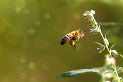 busy bee ([ TINO ]) Tags: bee beautiful bokeh green sunlight summer outdoor nature wildlife wild plant insect animal light sun blossom flower fly flora
