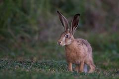 Hoppler (wsprecher) Tags: hase feldhase lepus europaeus wildlife