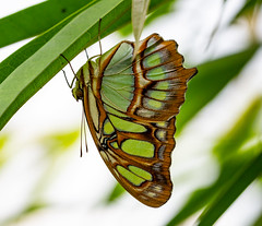 Butterfly (LuckyMeyer) Tags: makro green insect butterfly schmetterling