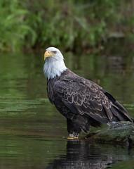 Old #33 (Mark Polson) Tags: eagle bald tagged 33 sarona wi pose water lake natural shoreline