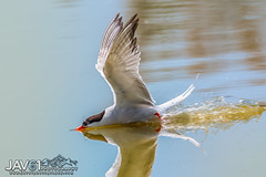 Foraging Common tern (Sterna hirundo)-6402 (George Vittman) Tags: animals birds diving fish nature photography skimming stern bouchesdurhône france camargue flight foraging nikonpassion wildlifephotography jav61photography jav61